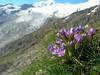 Gentiana campestris ssp. campestris (Fee-glacier with Allalinhorn)