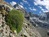 Silene acaulis, out of flower, in the background the Matterhorn