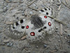 Parnassius apollo,