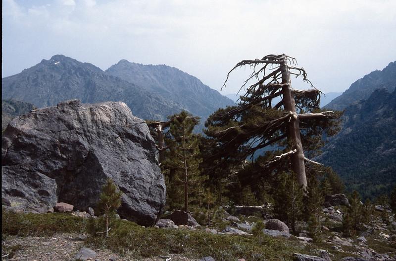 Pinus nigra ssp. laricio (GR20  Corsica, France 2003)