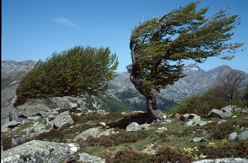 wind shaped Fagus trees (Bocca San Pedru 1452m.)