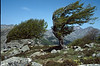 wind shaped Fagus trees (Bocca San Pedru 1452m.)