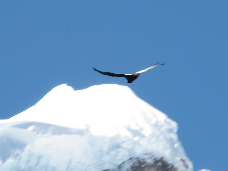 Vultur gryphus (the Condor) (Peru 2009, Safuna 4150m. - Lakes Safuna - Mesapata pass 4460m - underneath Gara Gara pass 4550m. Cordillera Blanca)