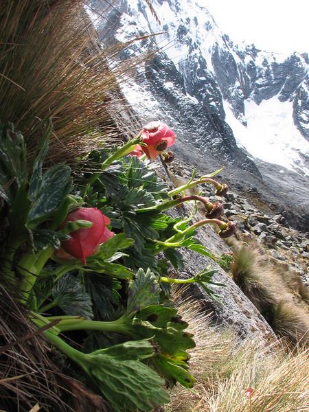 flowers of Krapfia weberbauerii 4100-4500m. (Peru 2009,  Taullipampa 4250m. - Punto Union 4760m - Tuctupampa 4100m. Cordillera Blanca)