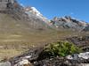 Valeriana rigida (syn. Phyllactis rigida) (Peru 2009,  underneath Gara Gara pass 4550m. - Gara Gara pass 4830m. - Iancarurish 4250m. Cordillera Blanca)