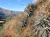 the Bromeliaceae: Puya angusta (Peru 2009, Calamina 3950m. - Banos 2900m. Cordillera Blanca)