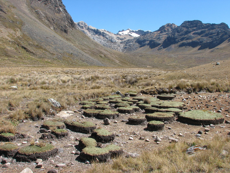 typical vegetation of Plantago rigida (Peru 2009, Safuna 4150m. - Lakes Safuna - Mesapata pass 4460m - underneath Gara Gara pass 4550m. Cordillera Blanca)