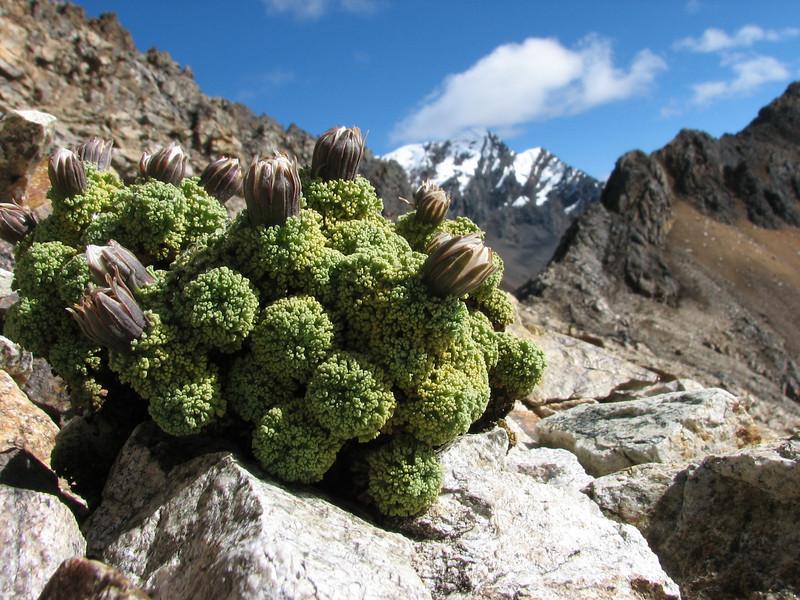the real high alpine-plant Werneria dactylophylla in bud (Peru 2009,  underneath Gara Gara pass 4550m. - Gara Gara pass 4830m. - Iancarurish 4250m. Cordillera Blanca)