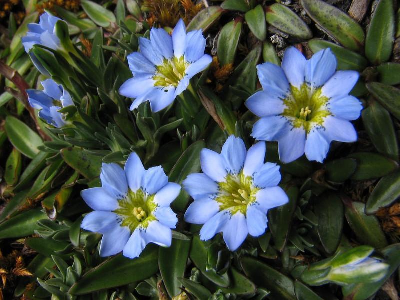 on lower altitude grows Gentiana sedifolia (Peru 2009,  underneath Gara Gara pass 4550m. - Gara Gara pass 4830m. - Iancarurish 4250m. Cordillera Blanca)