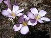flowers of Gentianella tristicha (Peru 2009,  Taullipampa 4250m. - Punto Union 4760m - Tuctupampa 4100m. Cordillera Blanca)