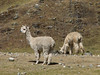 Lama pacos (Alpaca) (Peru 2009, Yuraj Machay 4000m. - Collota 4360m.pass - Safuna 4150m. Cordillera Blanca)