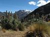 Lupinus weberbauerii (Peru 2009, Jancarurish 4250m. - Vientuna pass 4770m. - Osururi pass 4860m. - Lake Cullicocha 4628m. Cordillera Blanca)