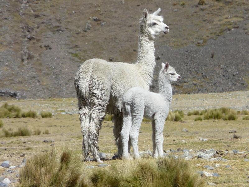 mother and young Alpaca (Peru 2009, Yuraj Machay 4000m. - Collota 4360m.pass - Safuna 4150m. Cordillera Blanca)