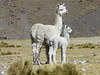 mother and young Alpaca (Peru 2009, Yuraj Machay 4000m. - Collota 4360m.pass - Safuna 4150m. Cordillera Blanca)