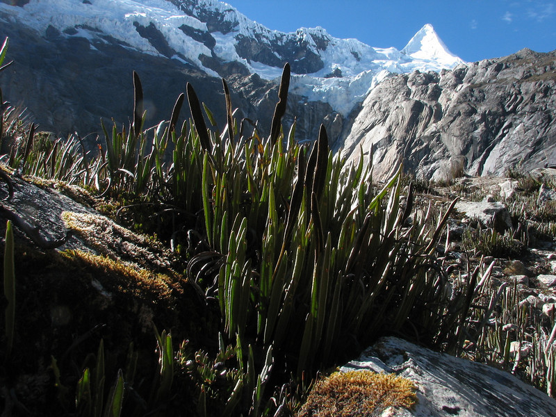 ferns with in  the background the Alpamayo 5947m. (Peru 2009, Jancarurish 4250m. Cordillera Blanca)