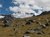 Lama pacos (Alpaca) in their habitat (Peru 2009, Safuna 4150m. - Lakes Safuna - Mesapata pass 4460m - underneath Gara Gara pass 4550m. Cordillera Blanca)