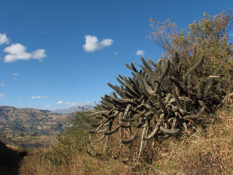 Cactaceae (Peru 2009, Calamina 3950m. - Banos 2900m. Cordillera Blanca)
