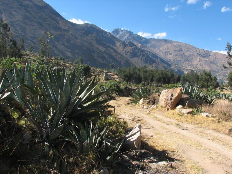 Agave americana (Peru 2009, Calamina 3950m. - Banos 2900m. Cordillera Blanca)