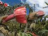 the climbingplant Passiflora trifoliata (Peru 2009,  underneath Gara Gara pass 4550m. - Gara Gara pass 4830m. - Iancarurish 4250m. Cordillera Blanca)