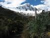 gigant Lupine: Lupinus weberbauerii (Peru 2009, Llamacoral 3750m. - Taullipampa 4150m. Cordillera Blanca)