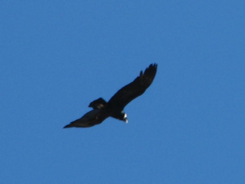 Vultur gryphus (Condor) (Peru 2009, Safuna 4150m. - Lakes Safuna - Mesapata pass 4460m - underneath Gara Gara pass 4550m. Cordillera Blanca)