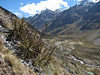 Puya angusta (Peru 2009, Jancarurish 4250m. Cordillera Blanca)