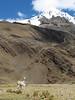 Lama pacos (Alpaca) in their habitat (Peru 2009, Yuraj Machay 4000m. - Collota 4360m.pass - Safuna 4150m. Cordillera Blanca)