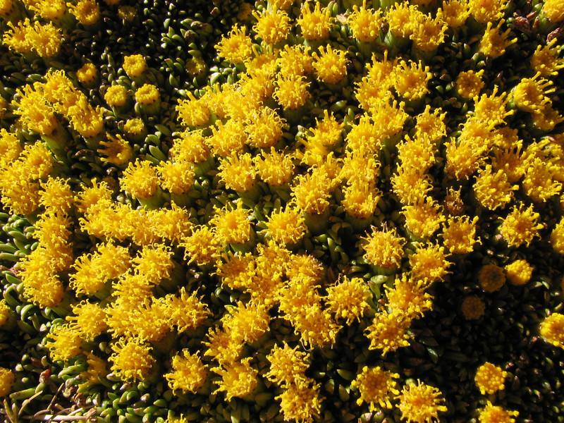 close up of  the yellow flowering cushionsplant, Senecio vegetus (Peru 2009, Auzangatecocha 4670m - Palomapass 5130m - Cerro Puca Punta 4480m - Teclla cocha 4800m. Ausangate)