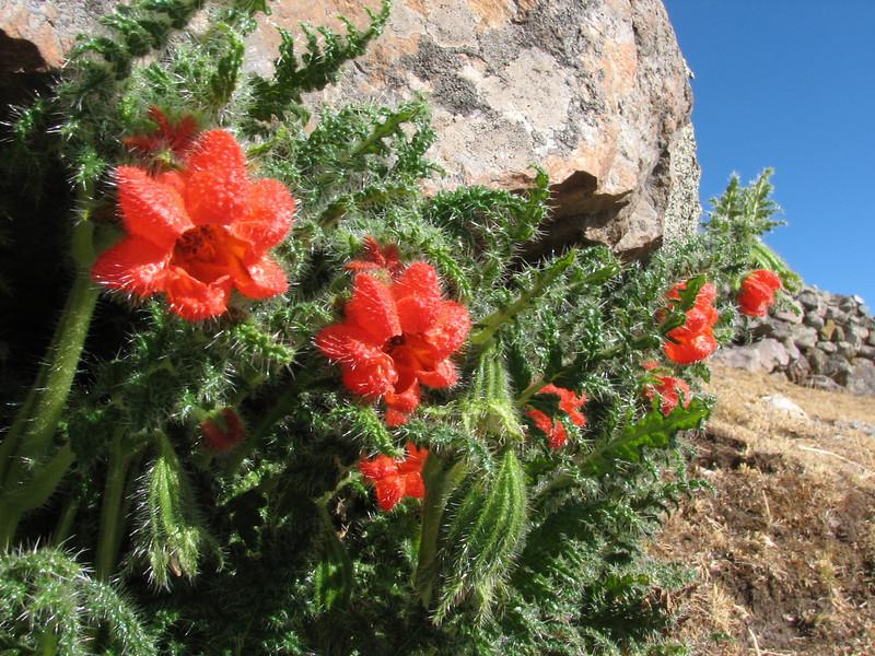 underneath bolders grows the orange-red flowered Loaseae: Cajophora rahmerii (Peru 2009, Pacchanta 4300m. -Tinqui 3900m.  Auzangate )