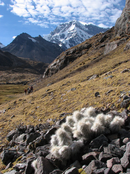 the cactus: Austrocylindropuntia floccosa (Peru 2009, Upispampa- Arapapass 4770m - Auzangate pass 4870m - Auzangatecocha 4670m. Ausangate)