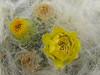 close up flowers of Austrocylindropuntia floccosa (Peru 2009, Upispampa- Arapapass 4770m - Auzangate pass 4870m - Auzangatecocha 4670m. Ausangate)