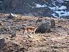 Vicugna vivugna (Vicuna 3500-5000m) (Peru 2009, Auzangatecocha 4670m - Palomapass 5130m - Cerro Puca Punta 4480m - Teclla cocha 4800m. Ausangate)
