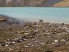 Lama pacos (Alpaca) on the border of lake Lago Comerococha (Peru 2009, Teclla cocha 4800m - Abra Campo Pass 5030m - Pacchanta 4300m.  Auzangate )