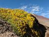 yellow flowering cushions of Senecio vegetus (Peru 2009, Auzangatecocha 4670m - Palomapass 5130m - Cerro Puca Punta 4480m - Teclla cocha 4800m. Ausangate)