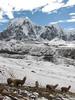 Lama pacos (Alpaca) (Peru 2009, Teclla cocha 4800m - pass 5030m - Pacchanta 4300m. Ausangate)