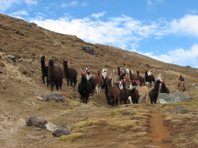 group of Lama glama (Lama) (Peru 2009, Upispampa- Arapapass 4770m - Auzangate pass 4870m - Auzangatecocha 4670m. Ausangate)