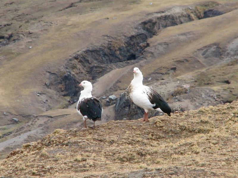 the Andean gooses: Chloephaga melanoptera  (Peru 2009, Upispampa- Arapapass 4770m - Auzangate pass 4870m - Auzangatecocha 4670m. Ausangate)