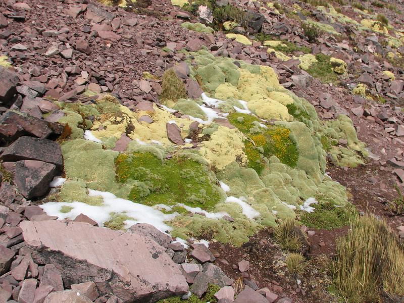 beautiful cushion-plants (Peru 2009, Teclla cocha 4800m - Abra Campo Pass 5030m - Pacchanta 4300m.  Auzangate )
