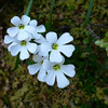 Eyebrights (Euphrasia sp.)