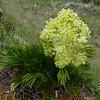 Aciphylla sp. (a wee spaniard)