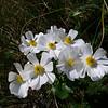 Ranunculus lyalli, Mt Cook 'lily'