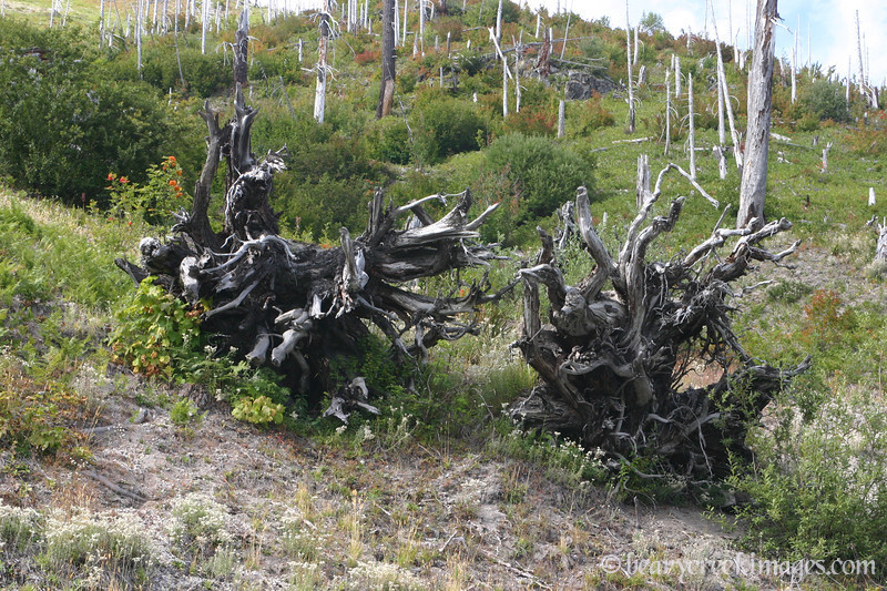 Mount Saint Helens National Volcanic Monument - 2007<br /> <br /> These are the roots of two trees that were blasted out of the ground during the 1980 eruption.