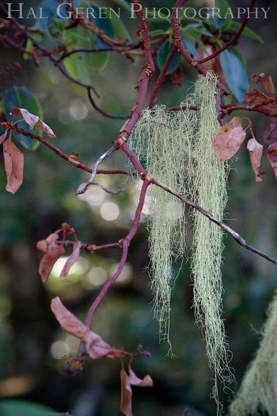 Lichen<br /> Big Basin State Park, California<br /> 0910BB-L1