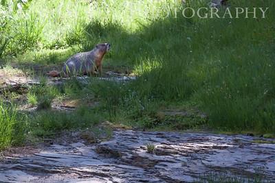 Marmot near the waterfall trail Lassen Volcanic National Park, California 0709ML-M2