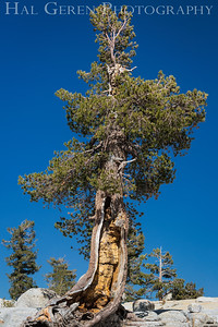 Olmstead Point Tree Tioga Pass, Yosemite, CA 1710S-T2