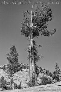 Olmstead Point Tree Tioga Pass, Yosemite, CA 1710S-T1BW1