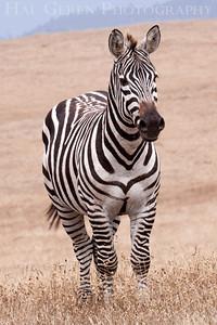 Zebra from the Heast Castle Ranch San Simeon, California 1305C-Z4