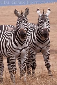 Zebras San Simeon, California 1305C-Z1