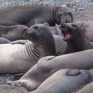 Elephant Seals San Simeon, California 1305C-ES16