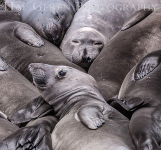 Elephant Seals San Simeon, California 1305C-ES4